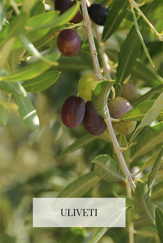 The olive groves of Ercolani
